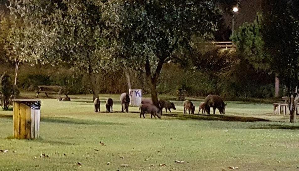 Imatge dels porcs senglars al Parc del Francolí la setmana passada.