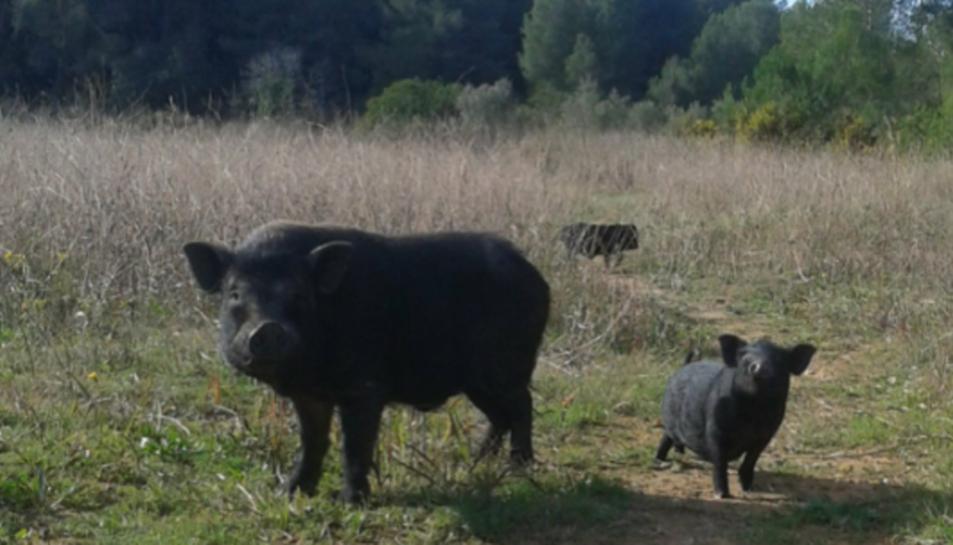 porcs vietnamites a Constantí.