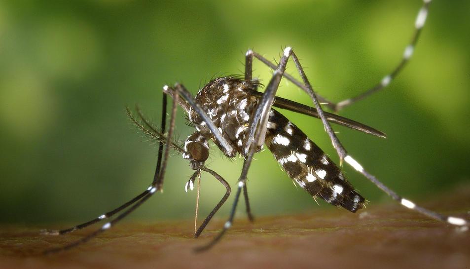 Un mosquit tigre adult només és capaç d'explorar volant uns pocs centenars de metres.