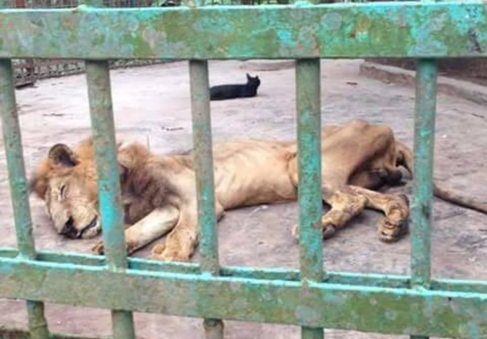 Un lleó en estat moribund a Bangladesh indigna les xarxes