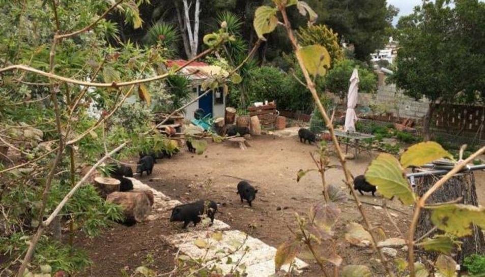 Imatge dels porcs vietnamites trobats a Cunit.
