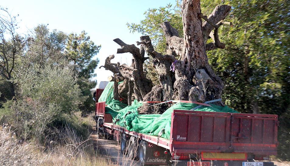 Un dels camions carregat amb oliveres mil·lenàries a Ulldecona.