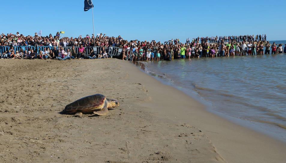 Alliberament d'una de les tortugues, que avança cap al mar davant l'expectació del públic, a Sant Carles de la Ràpita.