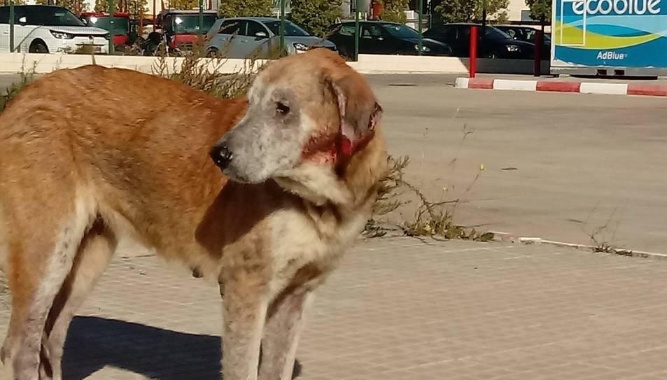 Rescatada una gossa que portava 12 anys abandonada a un polígon de Valls