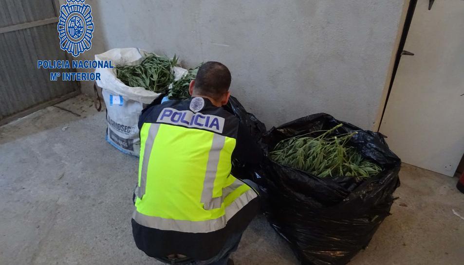 S'han intervingut prop de 500 plantes de marihuana en diferents estats de floració.