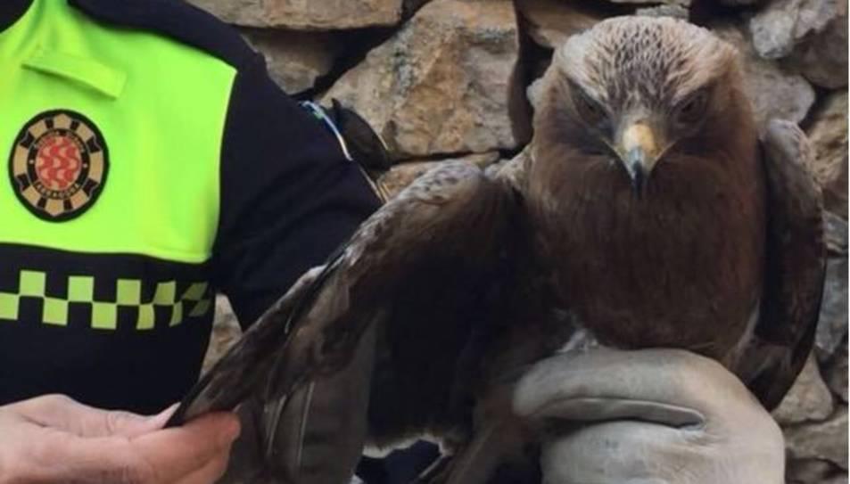 Imatge de l'àguila calçada rescatada.