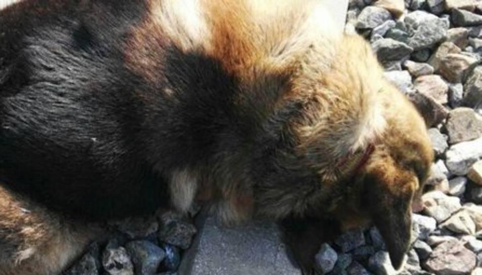 Imatge d'un dels gossos maltractats.
