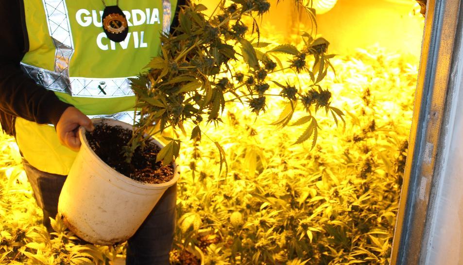 Els policies van intervenir 400 plantes de marihuana en fase de recolecció.