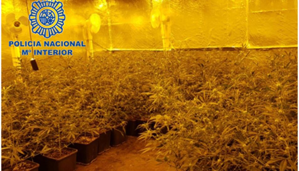 Imatge d'una de les plantacions de marihuana que controlava l'organització criminal.