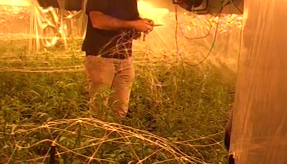 Una de les plantacions interiors descobertes en l'operació realitzada pels Mossos.
