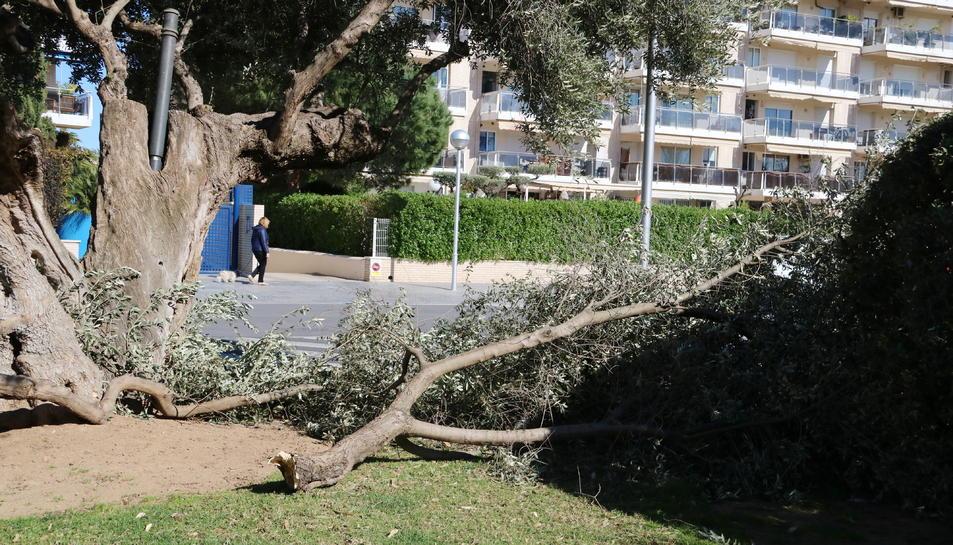 Una olivera que s'ha trencat a Salou.