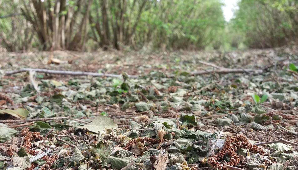 Imatge d'un camp d'avellaners amb les fulles caigudes.