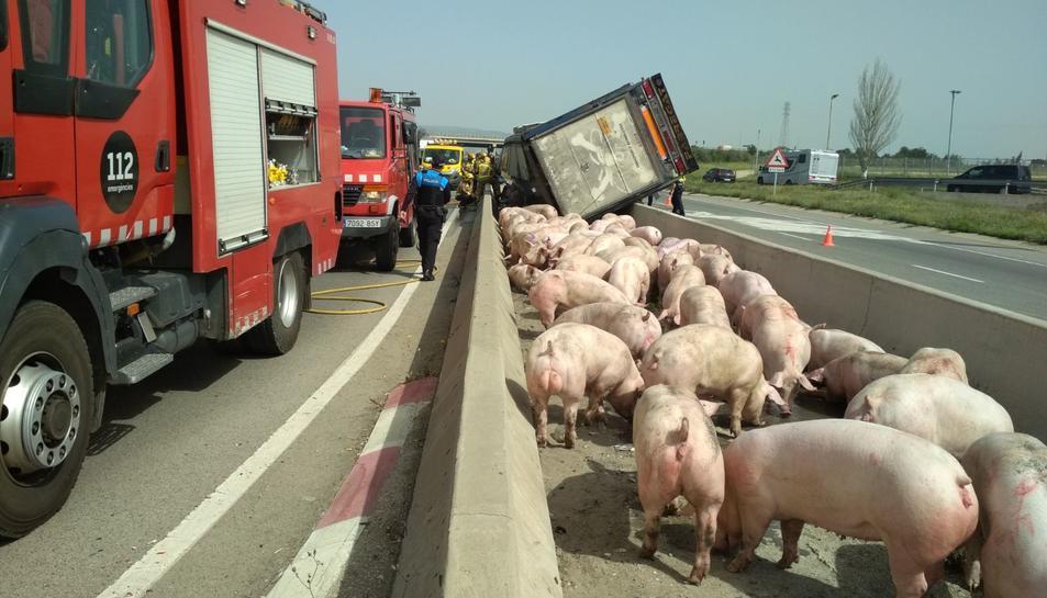 Els Bombers agrupen els porcs a la mitjana de la carretera.