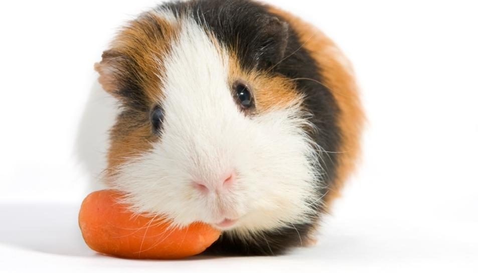 Un conillet d'índies menjant.
