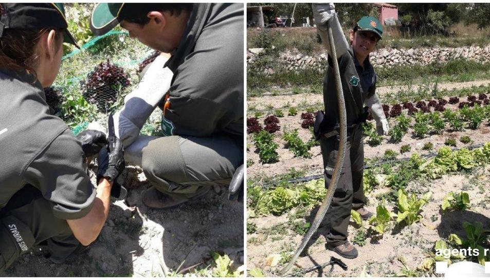 Els Agents Rurals han alliberat el rèptil després de comprovar que no estava ferit.