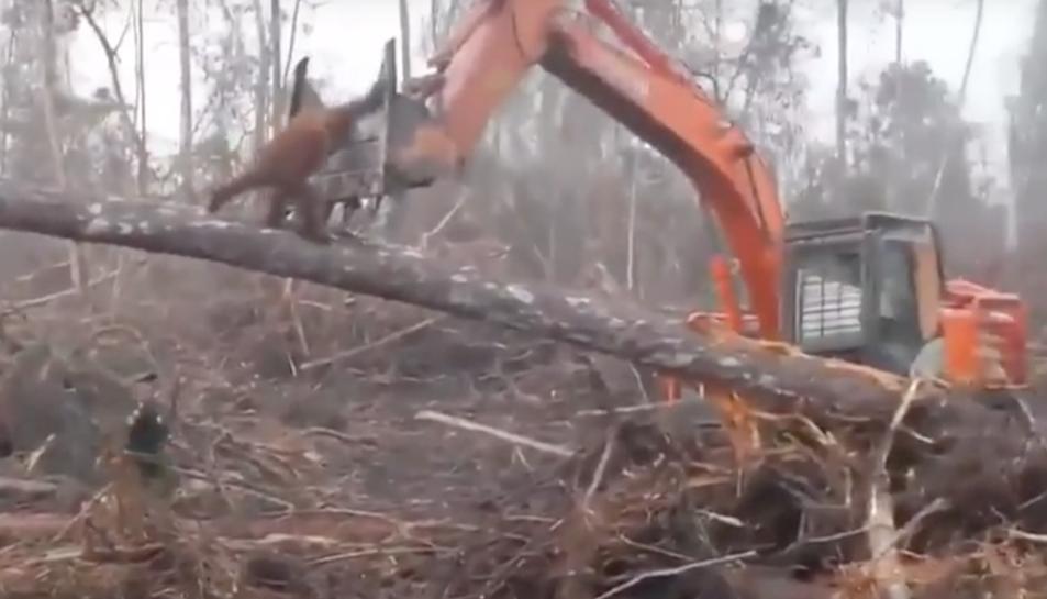 Moment en què l'animal intenta aturar l'excavadora