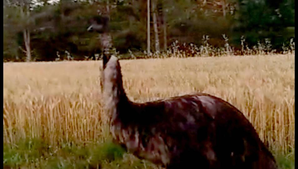 L'emú al mig de la carretera entre Monells i Madremanya.