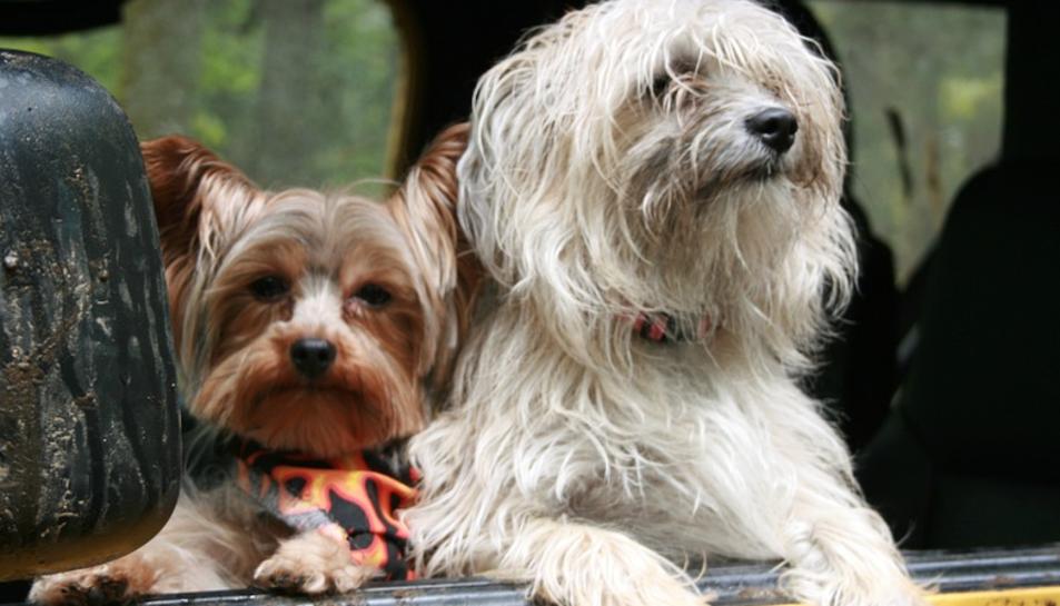 Dos gossos viatjant en cotxe.