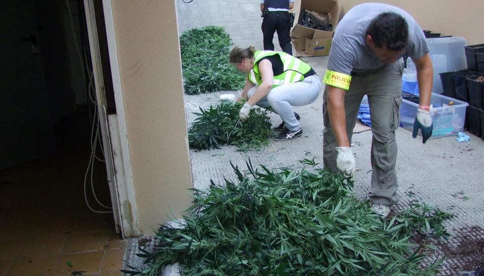 Els Mossos van intervenir més de 900 plantes i 36 quilos de cabdells de marihuana en dues cases d'Almoster i Mont-roig del Camp