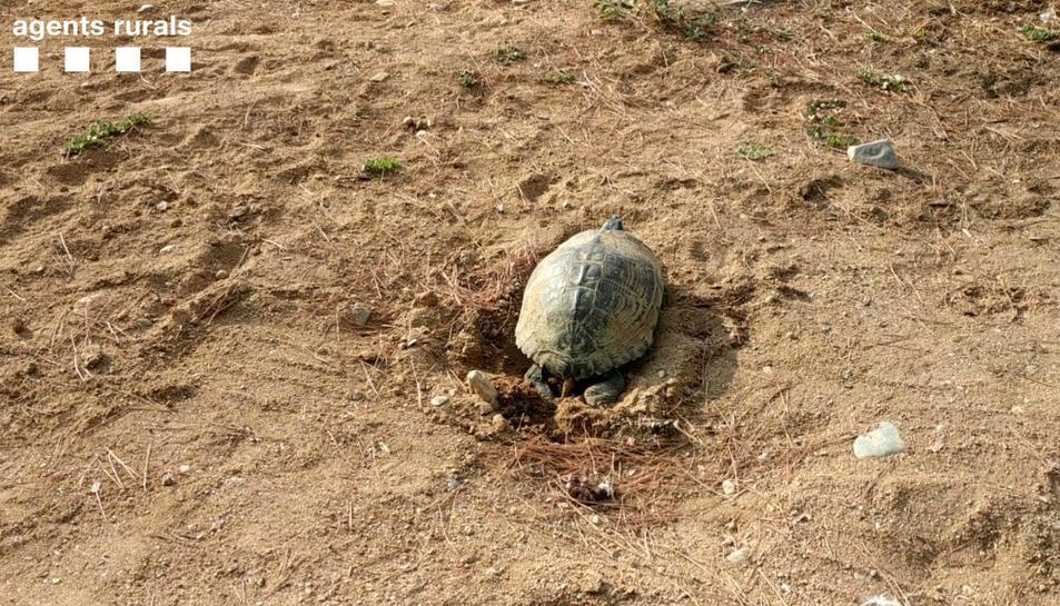 Imatge de la tortuga de Florida trobada realitzant una posta a la desembocadura de Riudoms.