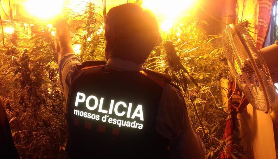 Pla obert d'un dels agents dels Mossos d'Esquadra en el desmantellament d'una plantació de marihuana a Reus.