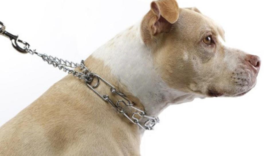 Un gos amb un collar de punxes que està prohibit.
