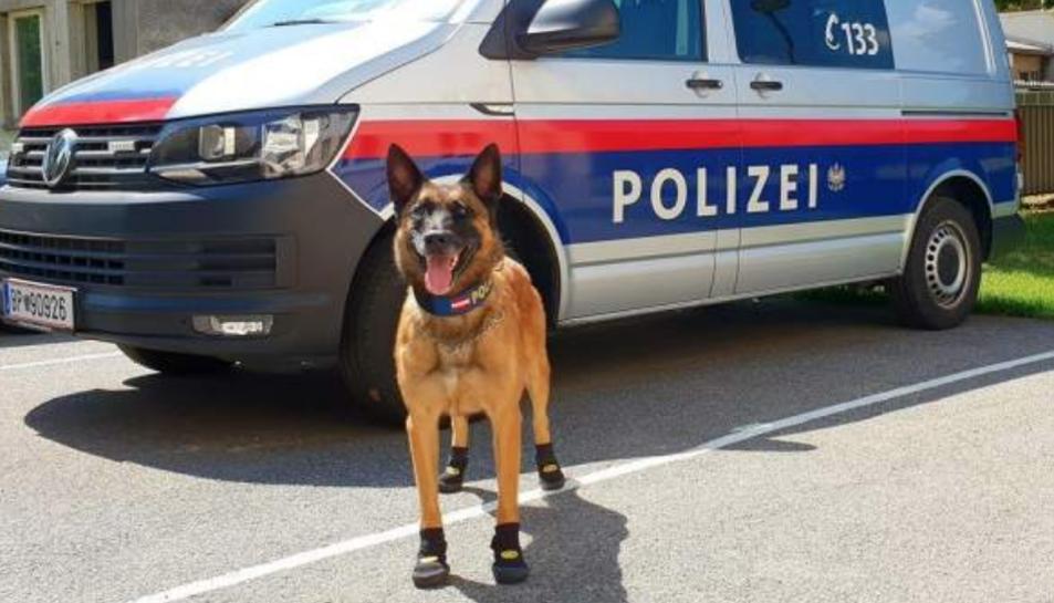 Imatge d'un gos de la policia de Viena amb les sabates posades.