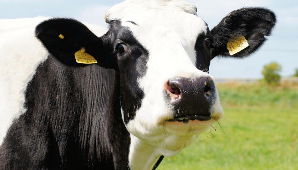 Imatge d'arxiu d'una vaca.