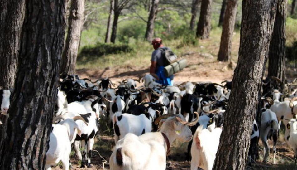 Un ramat d'ovelles pasturant entremig de troncs d'arbre, amb el seu pastor Martí Badoqui, caminant al fons.