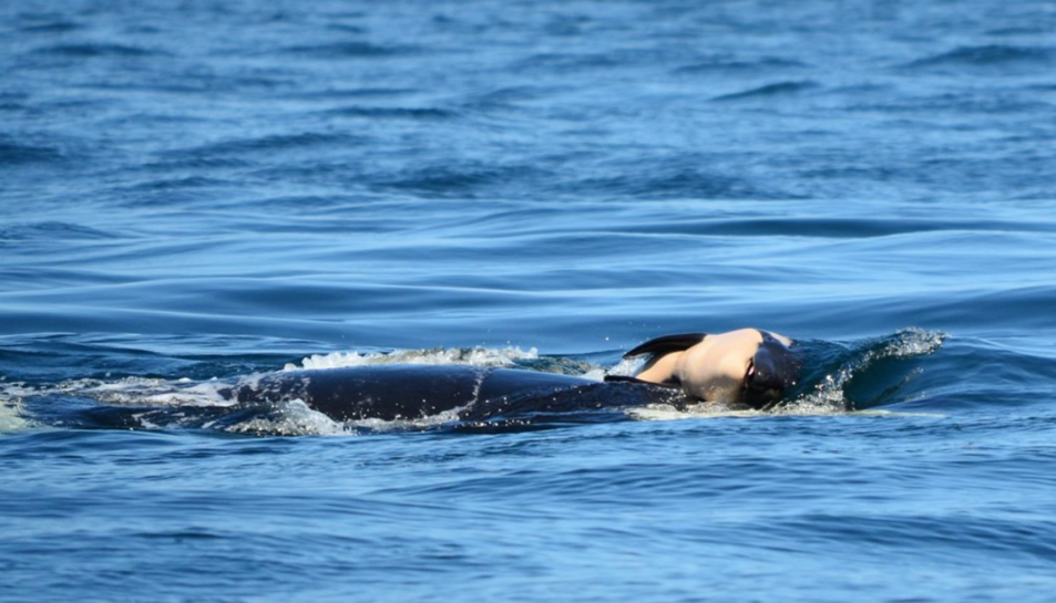 Imatge de l'orca Tahlequah carregant la seva cría.
