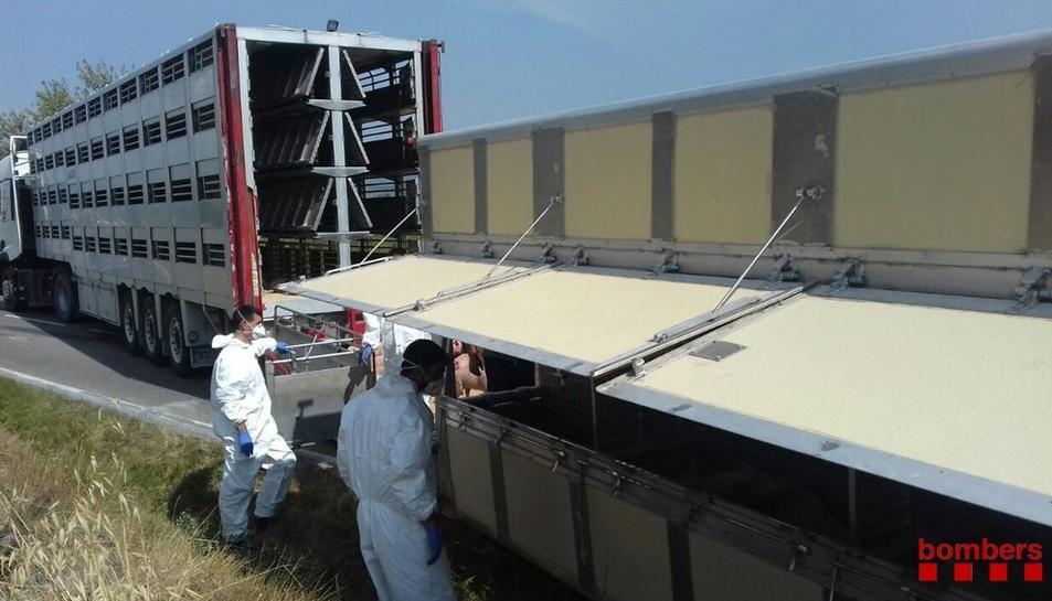 Un camió carregat amb 530 porcs ha bolcat al xocar contra un altre vehicle pesant.