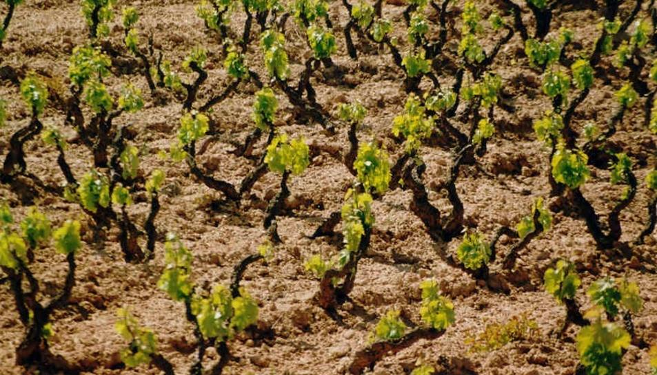 La verema ha arrencat amb la collita de varietats blanques en la part sud de la DO Montsant.
