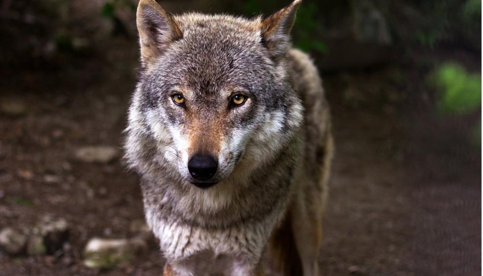 Mitja dotzena d'organitzacions ecologistes van exigir al Govern asturià que actués.