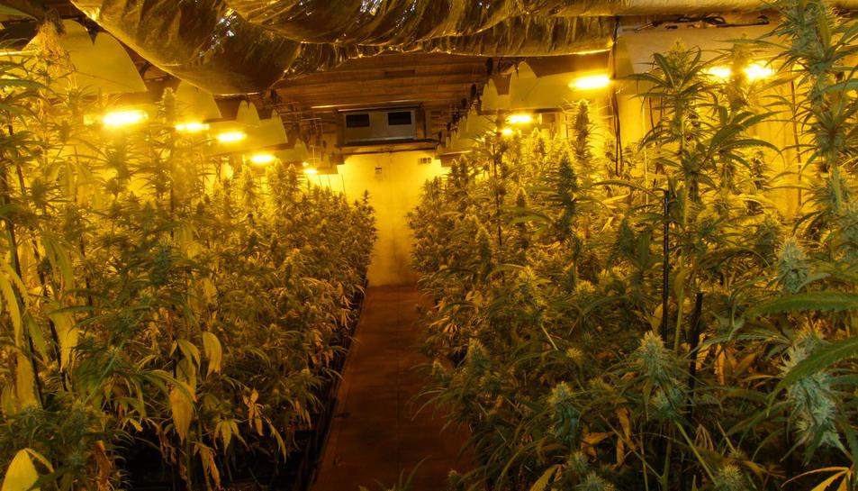 Es van localitzar 1.279 plantes de marihuana.