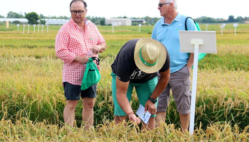 Productors d'arròs observen l'estat de l'espiga en un dels camps de l'Estació Experimental de l'Ebre.