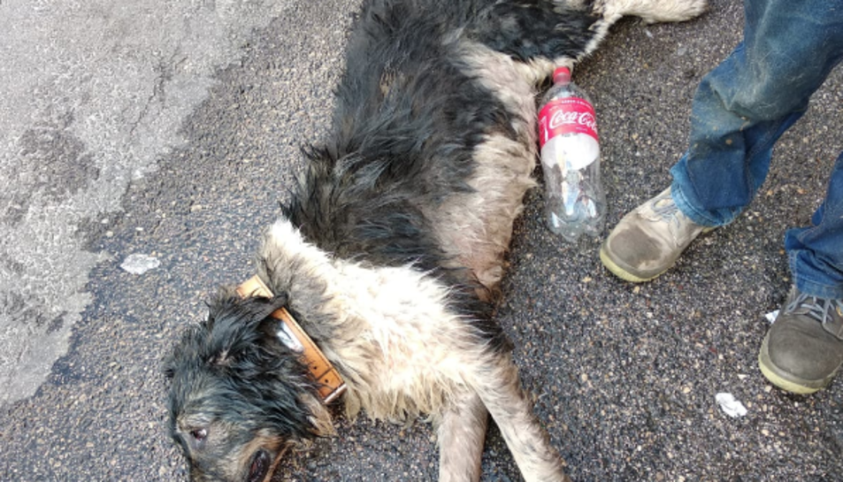 Imatge del gos que va ser traslladat a un centre veterinari.