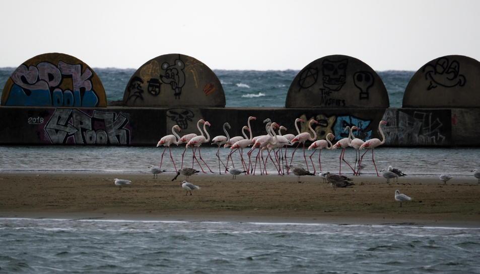 Pla general d'un grup de flamencs aturat a la costa de Cubelles el 31 d'agost de 2018.