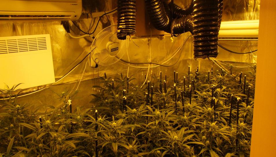 En un dels registres es van comissar 117 plantes de marihuana en una habitació.