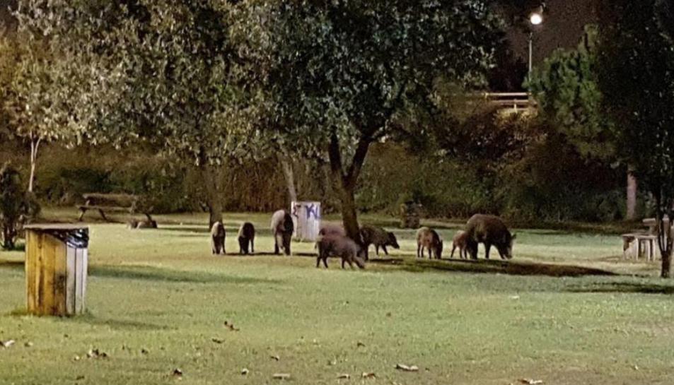 Imatge d'arxiu d'una manada de porcs senglars menjant a la zona de les taules, propera al col·legi Cèsar August.