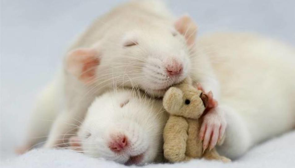 Dues rates domèstiques