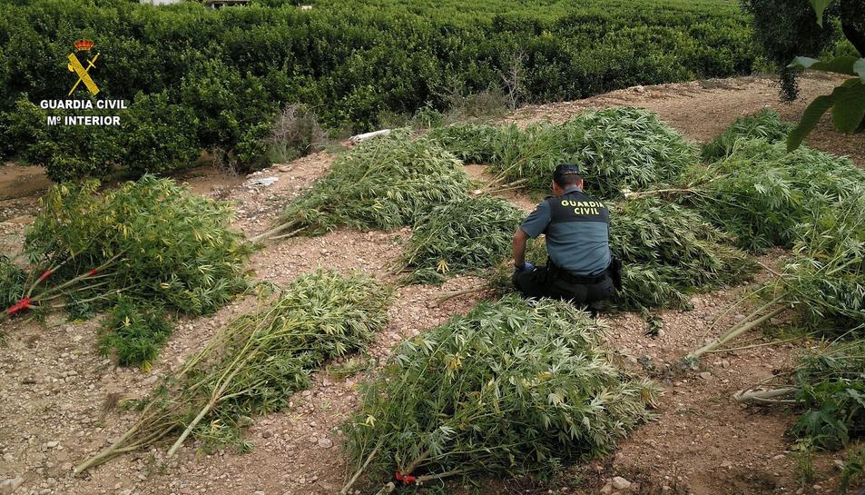 Les plantes de marihuana es trobaven dissimulades entre els tarongers.