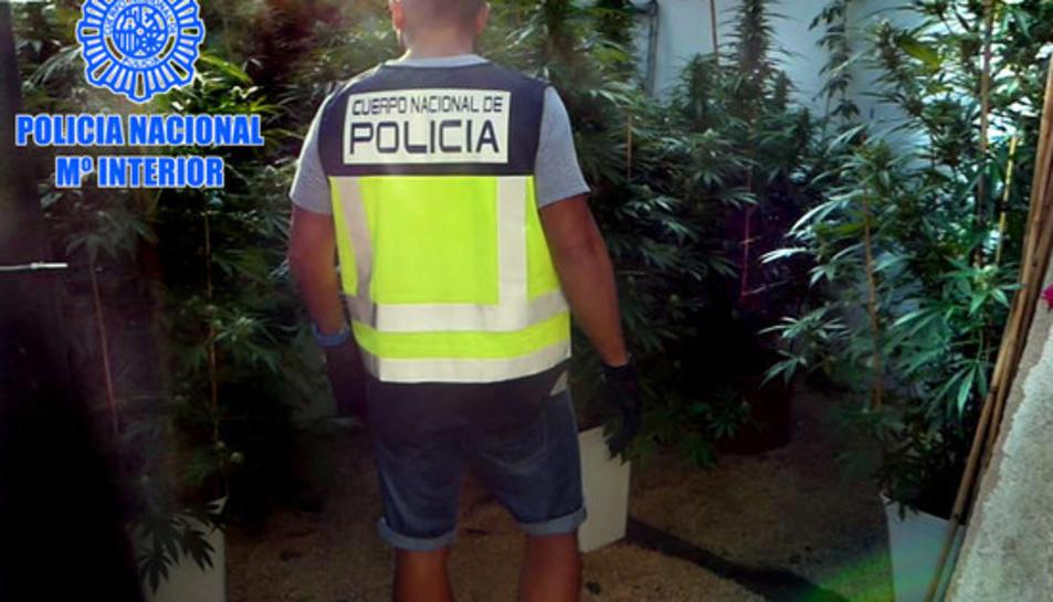 Un agent de la policia espanyola en el desmantellament d'una plantació de marihuana a Tortosa.