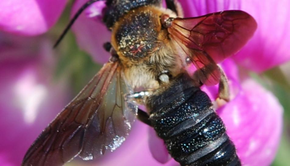 Imatge de la Megachile sculpturalis.