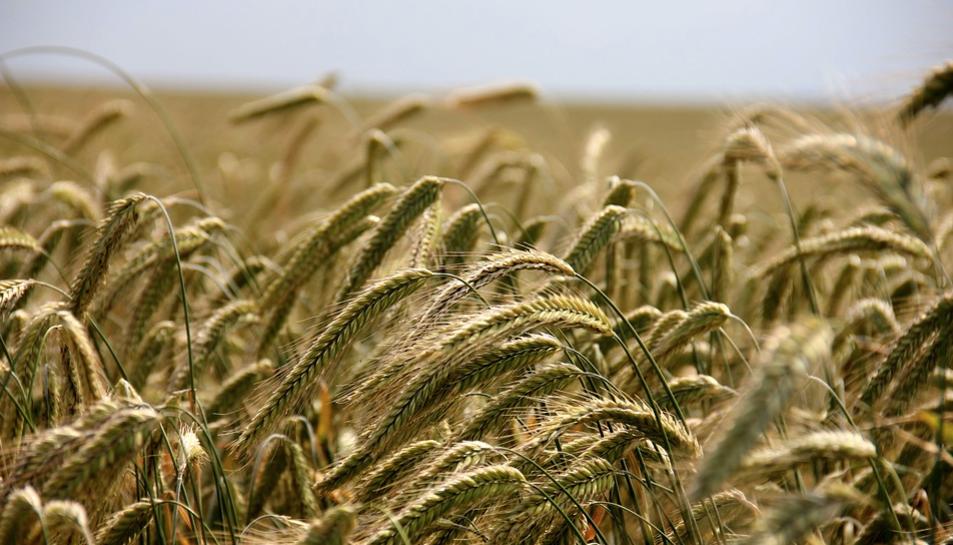 Els investigadors ja estan treballant per aplicar aquest coneixement en cereals i espècies hortícoles.
