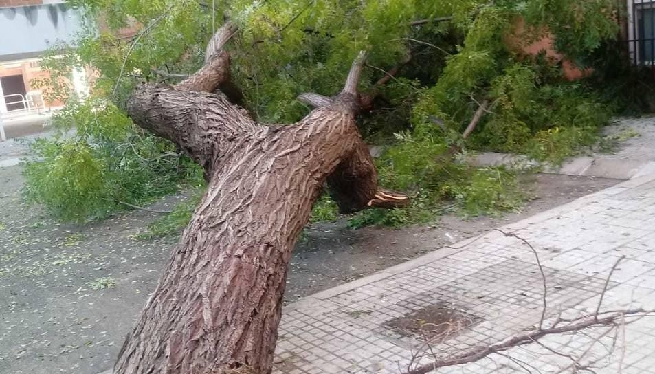 Imatge de l'arbre caigut a Mas Pellicer.
