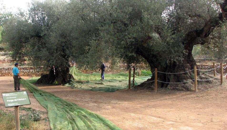 Ple general d'uns pagesos treballant en oliveres mil·lenàries de la finca d'Arión, Ulldecona.
