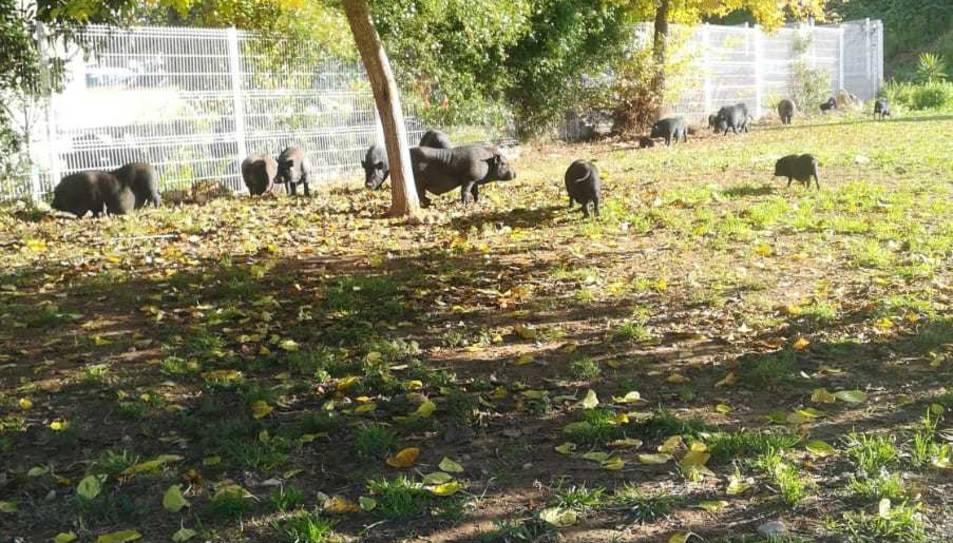 Imatge dels porcs al Parc de la Muntanyeta.