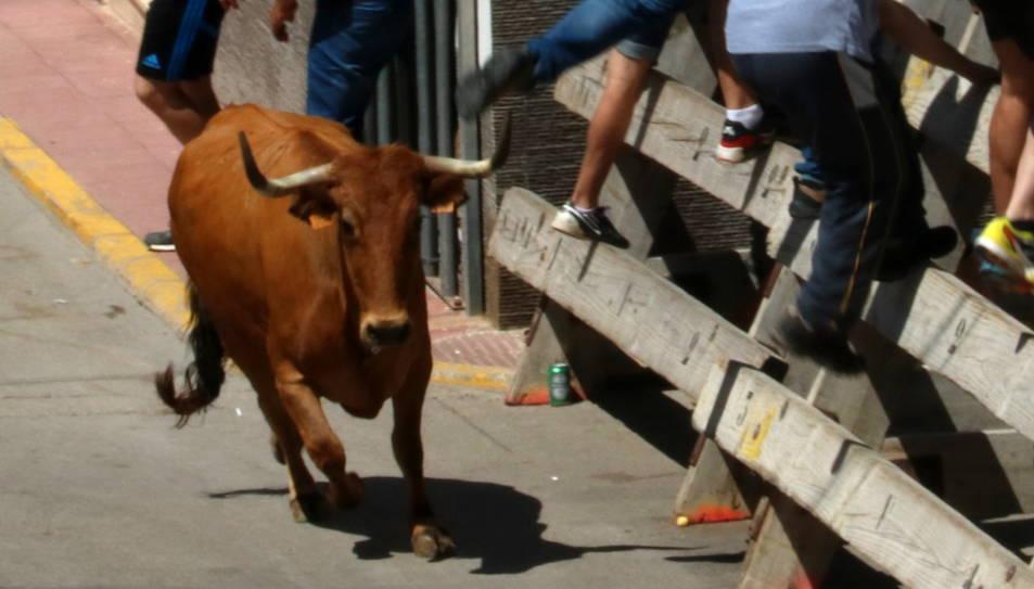Pla general d'una de les vaques durant el correbou pels carrers d'Alcanar.