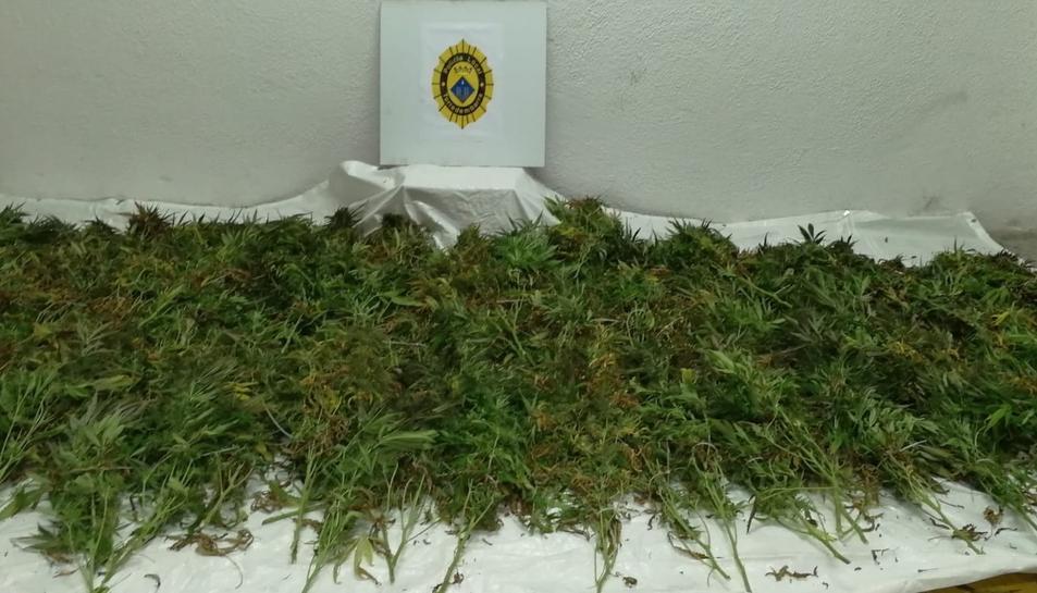 Imatge d'algunes de les plantes de marihuana intervingudes.