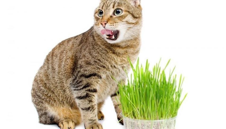 Imatge d'un gat amb la planta del Catnip